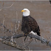 New York Cohoes American Bald Eagle 32 January 2021