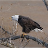 New York Cohoes American Bald Eagle 30 January 2021