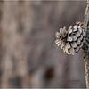New York Albany Pinebush Pitch Pine cone 2 January 2021