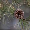 New York Albany Pinebush Pitch Pine cone 1 January 2021