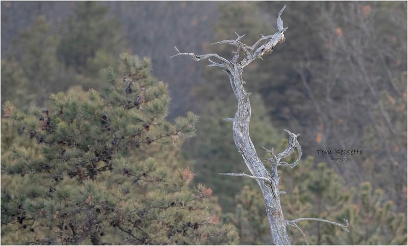 New York Albany Pinebush Pitch Pine 1 January 2021