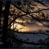 New York Albany Pinebush Pitch Pine 5 January 2021