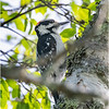 Adirondacks Chateaugay Lake Downy Woodpecker Male 2 June 2021
