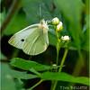 Adirondacks Lake Eaton 7 Cabbage White Butterfly June 2021