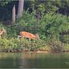 Adirondacks Lake Eaton 6 Deer June 2021
