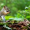 Adirondacks Lake Eaton 2 Red Squirrel June 2021