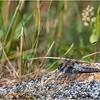 Adirondacks Chateaugay Lake Dragonfly 2 June 2021
