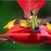 Adirondacks Chateaugay Lake Hummingbird 1 June 2021