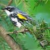 Adirondacks Lake Eaton 1 Yelow Rumped Myrtle Warbler June 2021