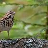 Adirondacks Lake Eaton 8 Song Sparrow June 2021