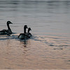 Adirondacks Rollins Pond Canada Geese 1 July 2021