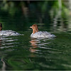Adirondacks Whey Pond Common Mergansers 5 July 2021