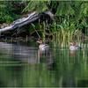 Adirondacks Whey Pond Common Mergansers 1 July 2021