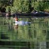 Adirondacks Whey Pond Common Mergansers 3 July 2021