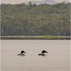 Adirondacks Piercefield Flow Loons 1 July 2021