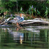 Adirondacks Whey Pond Common Mergansers 4 July 2021