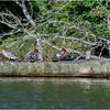 Adirondacks Whey Pond Common Mergansers 6 July 2021