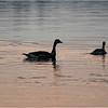 Adirondacks Rollins Pond Canada Geese 2 July 2021