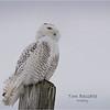 New York Madison County Snowy Owl Female 16 February 2021