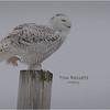 New York Madison County Snowy Owl Female 6 February 2021