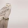 New York Madison County Snowy Owl Female 1 A February 2021