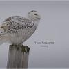 New York Madison County Snowy Owl Female 5 February 2021