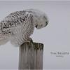 New York Madison County Snowy Owl Female 13 February 2021