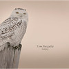 New York Madison County Snowy Owl Female 1 February 2021