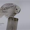 New York Madison County Snowy Owl Female 10 February 2021