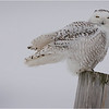 New York Madison County Snowy Owl Female 8 February 2021