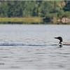 Adirondacks Simond Pond Loon 1 July 2021