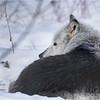 Adirondacks Essex County ADK Wildlife Refuge Gray Wolf 6 February 2021