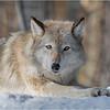Adirondacks Essex County ADK Wildlife Refuge Gray Wolf 3 February 2021