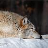 Adirondacks Essex County ADK Wildlife Refuge Gray Wolf 5 February 2021