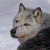 Adirondacks Essex County ADK Wildlife Refuge Gray Wolf 7 February 2021