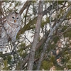 New York Fort Edward Barred Owl 16 February 2021