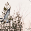 New York Fort Edward Barred Owl 6 February 2021