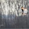 New York Fort Edward Short Eared Owl 1 February 2021