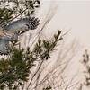New York Fort Edward Barred Owl 4 February 2021