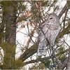 New York Fort Edward Barred Owl 19 February 2021