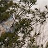 New York Fort Edward Barred Owl 3 February 2021