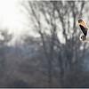 New York Fort Edward Short Eared Owl 2 February 2021