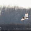 New York Fort Edward Short Eared Owl 3 February 2021