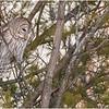 New York Fort Edward Barred Owl 15 February 2021