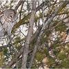 New York Fort Edward Barred Owl 18 February 2021