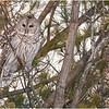 New York Fort Edward Barred Owl 20 February 2021