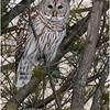 New York Fort Edward Barred Owl 13 February 2021