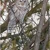 New York Fort Edward Barred Owl 17 February 2021