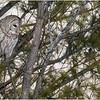 New York Fort Edward Barred Owl 14 February 2021