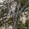 New York Fort Edward Barred Owl 8 February 2021